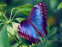 Owl Butterfly Purple i Costa Rica mariposaviolet royaltyfria bilder