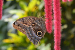 An owl butterfly on a red chenille plant. A pretty chenille plant attracts an owl butterfly in the gardens Royalty Free Stock Photos