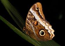 Owl Butterfly Resting alla notte Immagini Stock Libere da Diritti