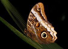 Owl Butterfly Resting at Night. An owl butterfly (Caligo sp.) rests on a palm frond in the protected rain forest at La Selva Biological Station in Costa Rica Royalty Free Stock Images