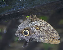 Owl butterfly rests on wood. An owl butterfly has markings that mimic the appearance of an owl.  the butterfly relies on this marking to ward off attack by birds Royalty Free Stock Photos