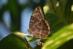 Owl Butterfly Sitting bonito en las hojas en un jardín Foto de archivo