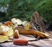 Owl Butterfly Snacking On Fruits Royalty-vrije Stock Afbeeldingen