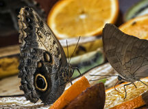 Owl butterfly Stock Photos