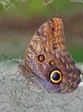 Owl Butterfly standing on the dry plants. Owl Butterfly standing on the dry plant with wings closed stock photography