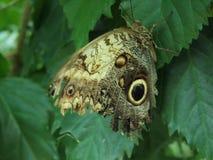 Owl Butterfly sur une feuille Photographie stock libre de droits