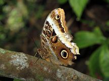 Owl Butterfly on a tree royalty free stock image
