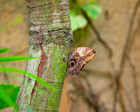 Owl Butterfly on a tree Stock Photography
