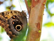 Owl Butterfly (Underside) Stock Image