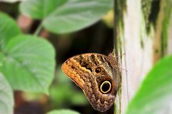 Owl butterfly (underside) on fence post Stock Images