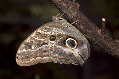 Owl Butterfly Wild i Costa Rica arkivbild