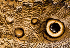 Owl butterfly wing close-up Stock Images