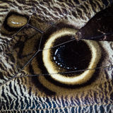Owl Butterfly Wing Close Up. Stock Photos