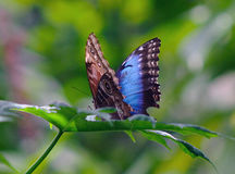Owl Butterfly With Wings Spread Stock Afbeelding