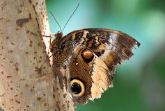 Owl Butterlfy. An owl butterfly is a butterfly, in the genus Caligo, known for their huge eyespots, which resemble owls' eyes. They are found in the rainforests stock photo
