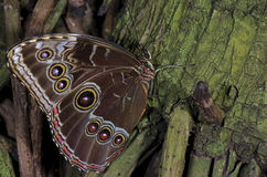 Owl Buttterfly. An Owl Butterfly,of the Nymphalidae family, native of South America and Mexico stock images