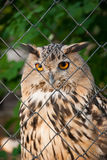 Owl in a cage royalty free stock photo