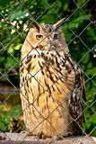 Owl in a cage Stock Photography