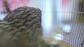 Owl in a cage at the event. Beautiful owl in a cage. Owl close-up. Bird stock footage