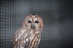 Owl in a cage Stock Image
