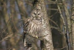 Owl Cameo interdite Image stock