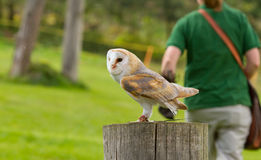 An owl in captivity Royalty Free Stock Photo
