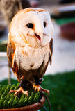 Owl in captivity Stock Photography