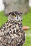 Owl in captivity Royalty Free Stock Photo
