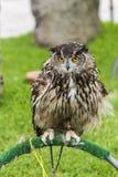 Owl in captivity Royalty Free Stock Photos