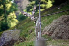 Owl caught in flight Stock Photography