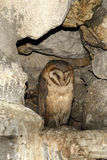 Owl in cave Royalty Free Stock Image