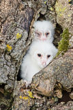 Owl chicks Royalty Free Stock Photos