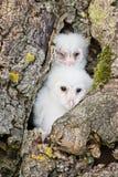 Owl chicks Royalty Free Stock Photos