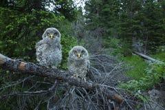 Owl Chicks curioso Imagens de Stock