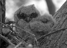 Owl Chicks Royalty Free Stock Images