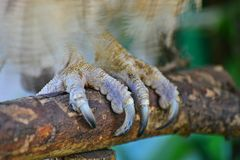 Owl Claw Stock Photography