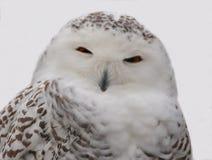 Owl Close nevado acima fotos de stock royalty free