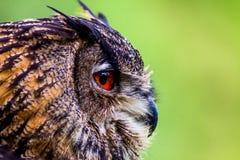 Owl Close op Hoofd Stock Fotografie