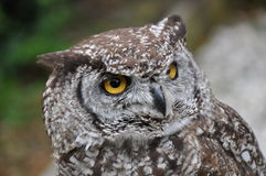 Owl, close-up Stock Photo
