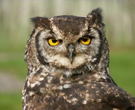 Owl close up Royalty Free Stock Image