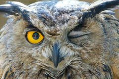 Owl. The close-up of owl with big eyes Royalty Free Stock Image