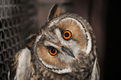 Owl. Close-up of an eagle-owl in a zoo Stock Photography