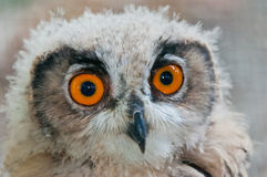 Owl close up eyes Royalty Free Stock Image