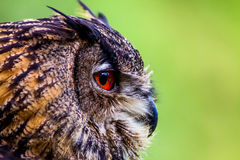 Owl Close up Head. A close up of the head of an owl Stock Photography