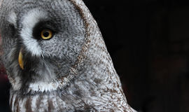 Owl Close-up royalty free stock images