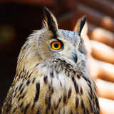 Owl close up portrait Royalty Free Stock Image