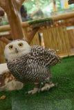 Owl close-up stock image