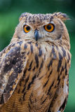 Owl. Close up of owl staring ahead with green background Royalty Free Stock Photo