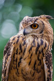 Owl. Close up of owl staring to the left with green background Royalty Free Stock Photography