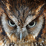 Owl closeup Royalty Free Stock Images